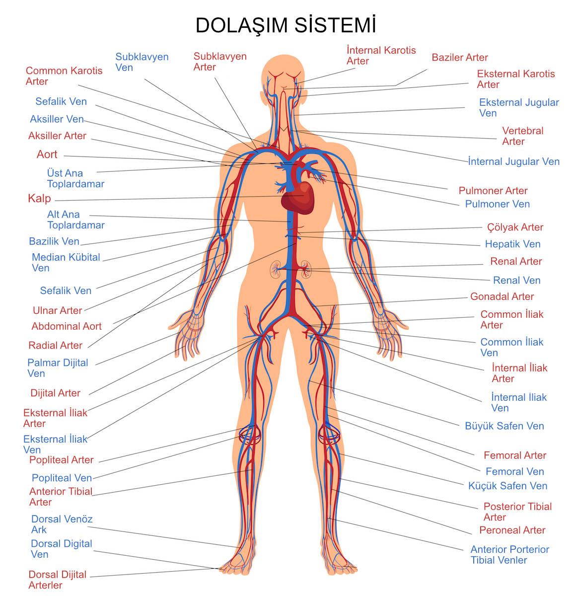 dolasim-sistemi