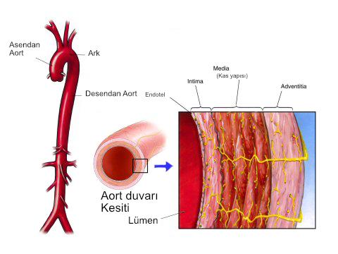 aort-anatomisi