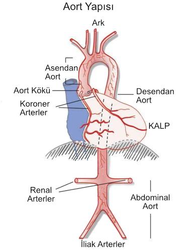 aort-yapisi