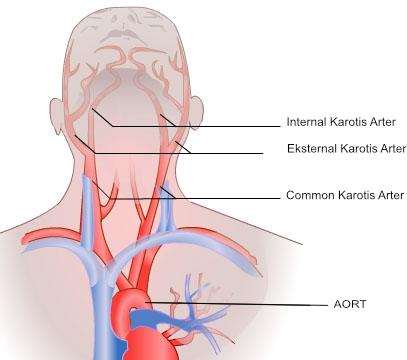 karotis-anatomi