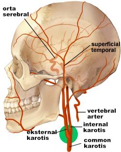 karotis-arterler-yan